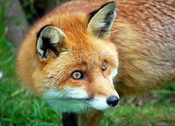 истории про лис
