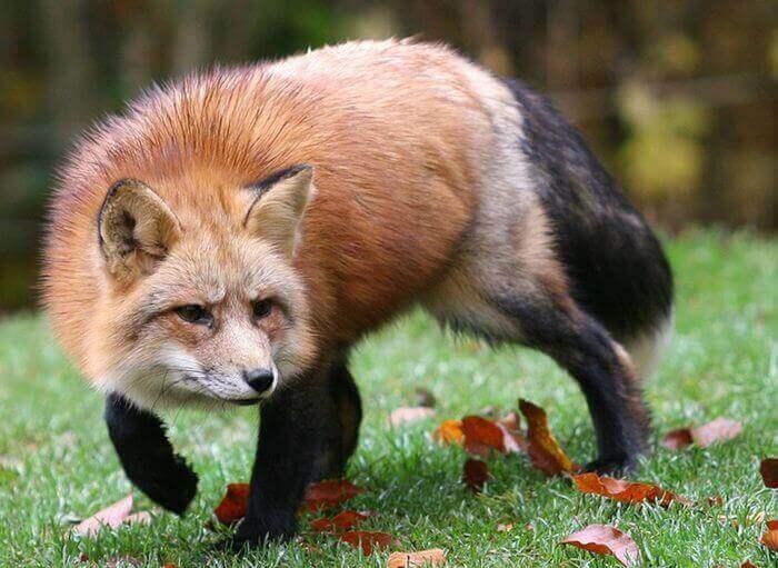 лиса рыжая воровка