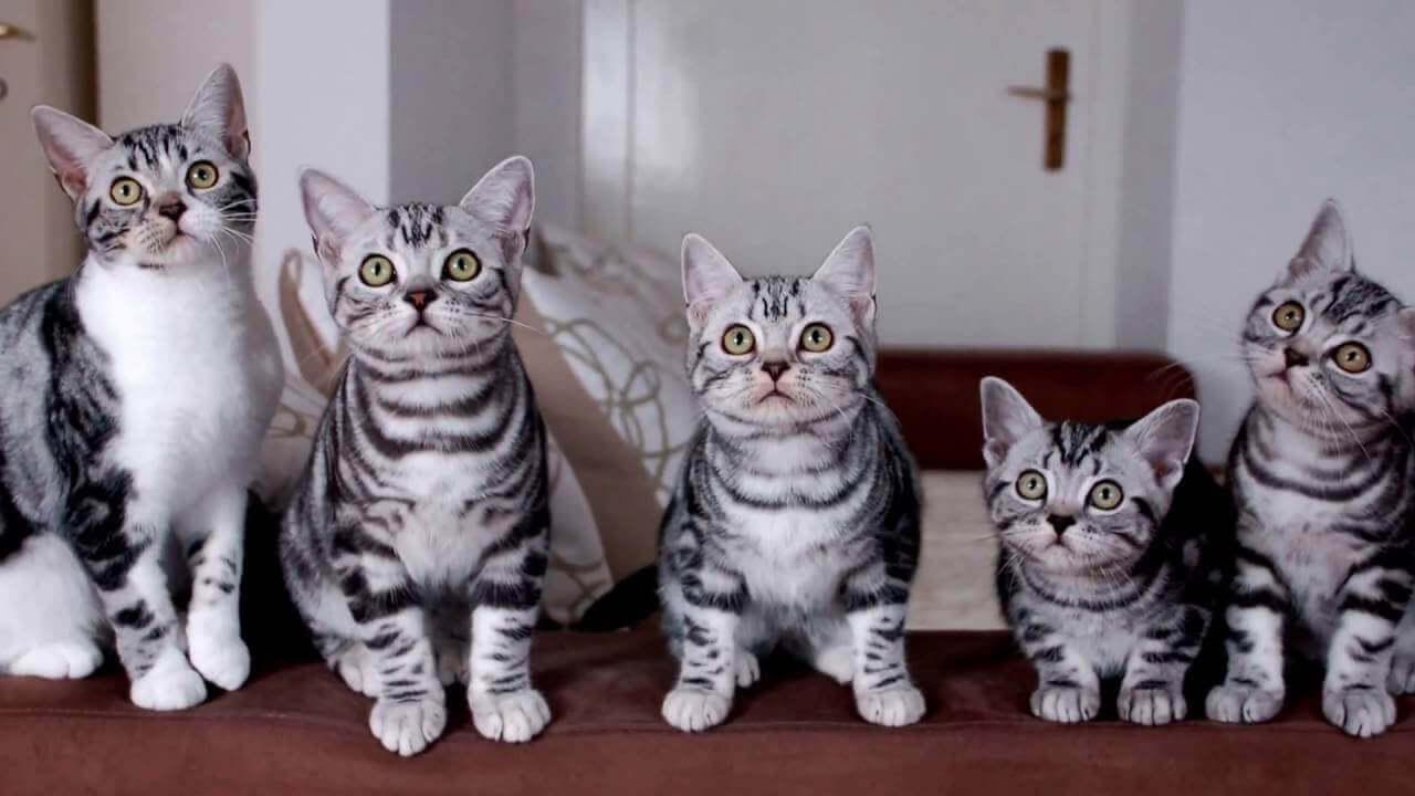 американская порода кошек полосатая