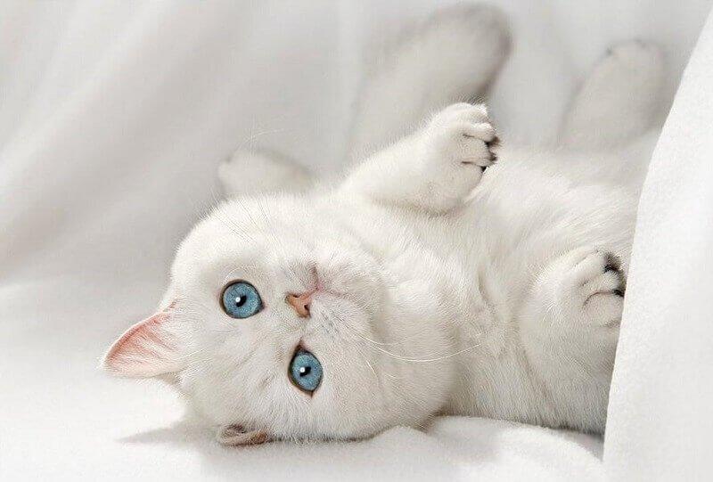 порода британская кошка