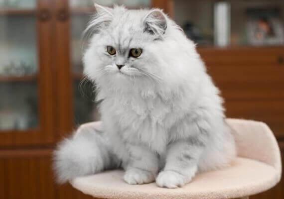 Персидская кошка перс