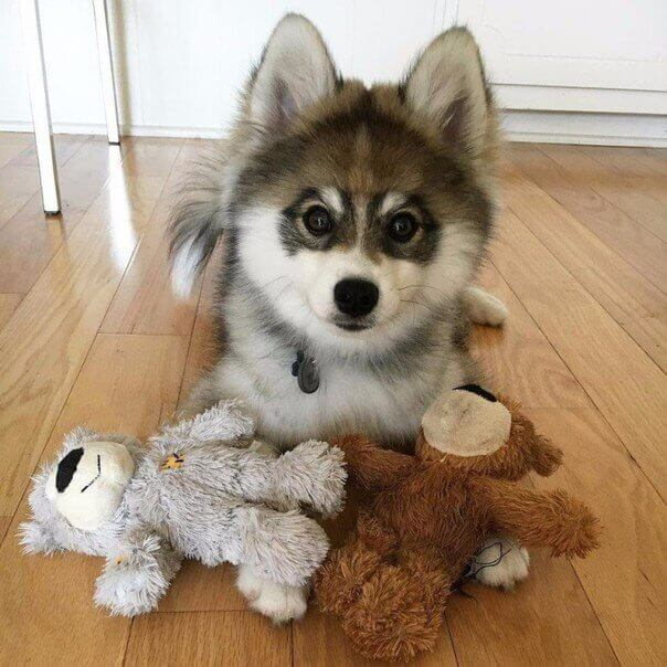 фото хаски с голубыми глазами щенки