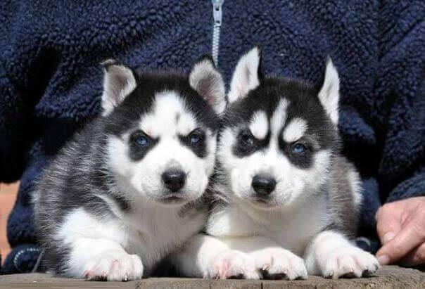 маленькие щенки хаски фото