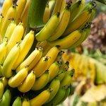Банан - это трава или дерево, ягода или фрукт?!