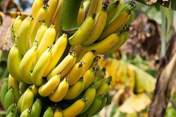 что такое банан трава или дерево