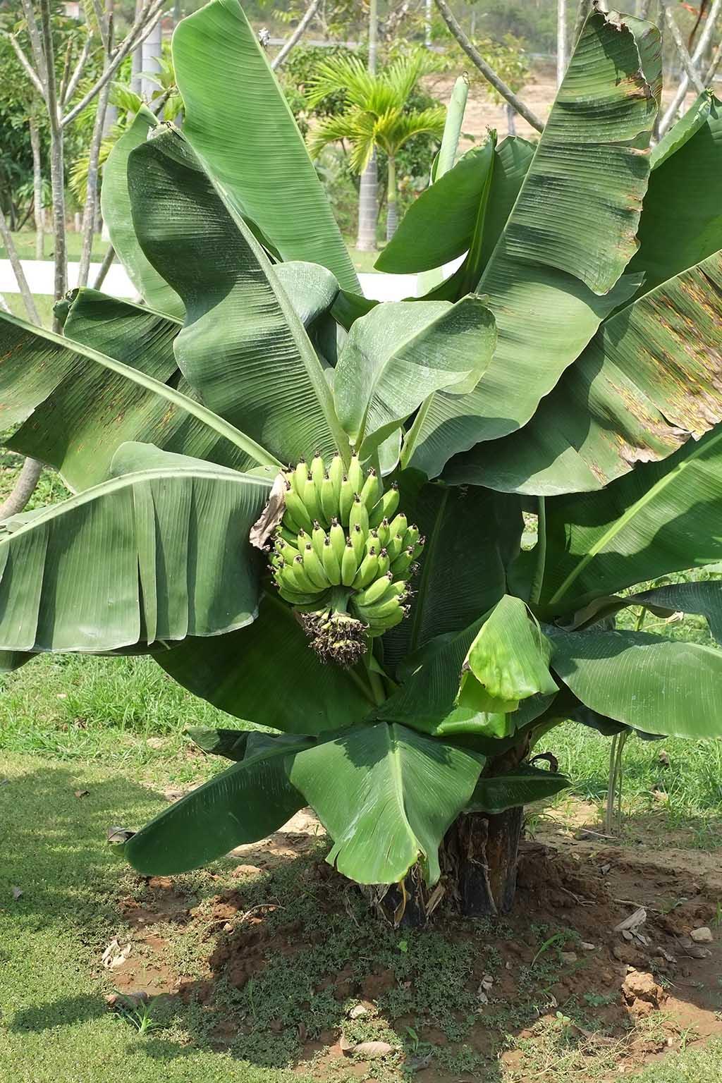 ягода банан относится к травам