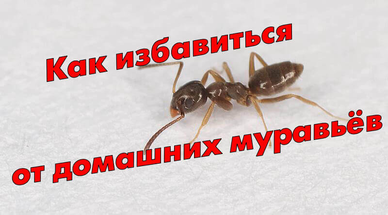 избавится от муравьёв в доме и квартире