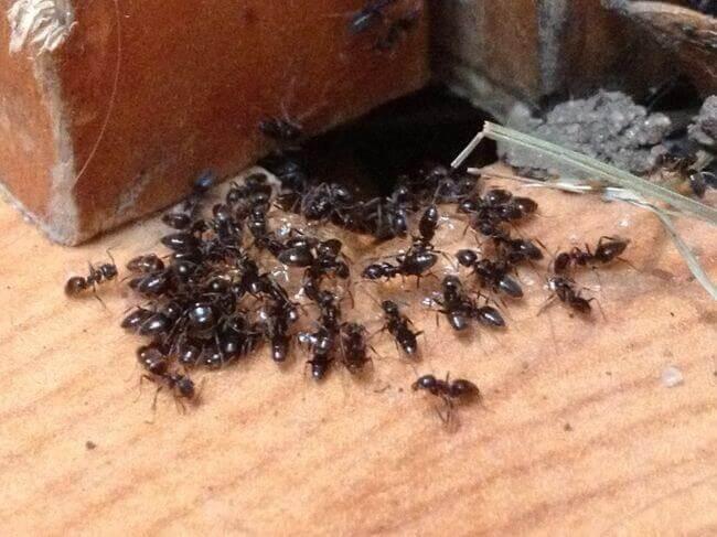 простейшее средство от домашних муравьёв