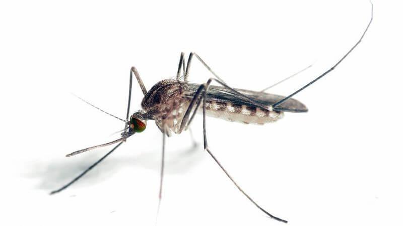 новый вид комаров в россии