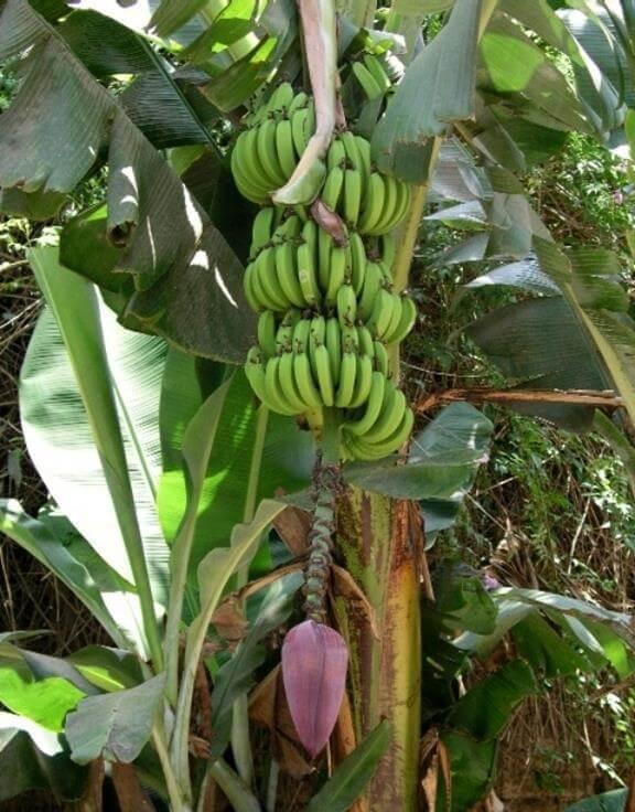 банан пальма дерево кустарник трава